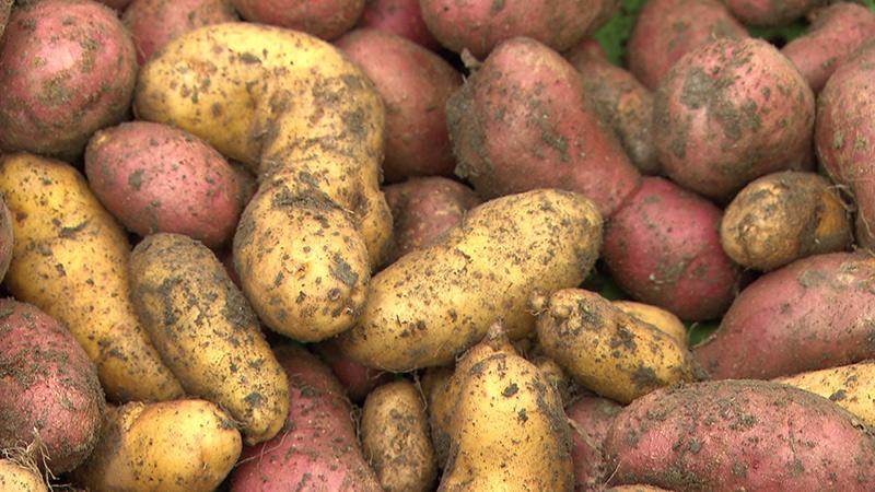 Kartoffelbauer Zerza Hof Erdäpfel Gailtal Treßdorf