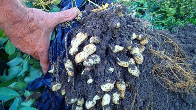 Erstmals Erdnüsse in Tirol geerntet