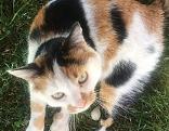 Vermisste dreifärbige Katze Lilly