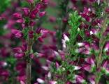 Erika-Heilpflanze
