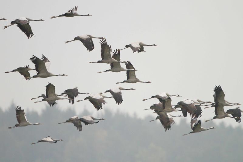 Kraniche fliegen Zugvögel