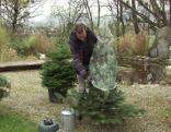 Christbaumpflege