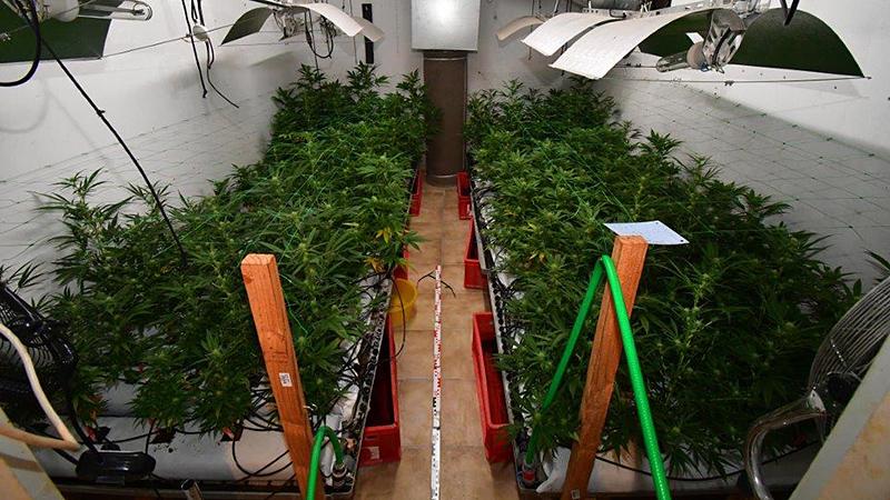 Cannabispflanzen, Indoor-Plantage