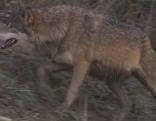 Jagender Wolf
