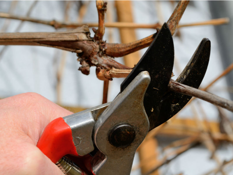 Baumschnitt Gartenschere