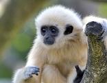Singende Affen sind Zootier des Jahres 2019