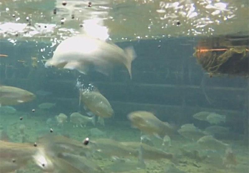 Fische schnappen Insekten an Wasseroberfläche