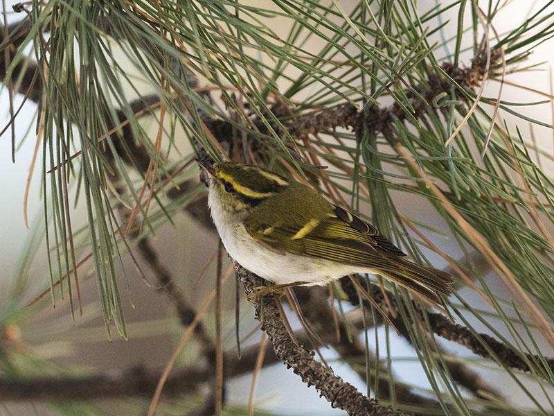 Seltener Vogel aus der sibirischen Taiga vor dem Naturhistorischen Museum Wien beobachtet