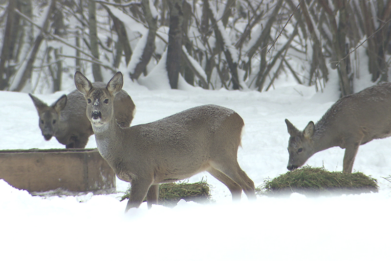 Wildtiere Rehe Winter