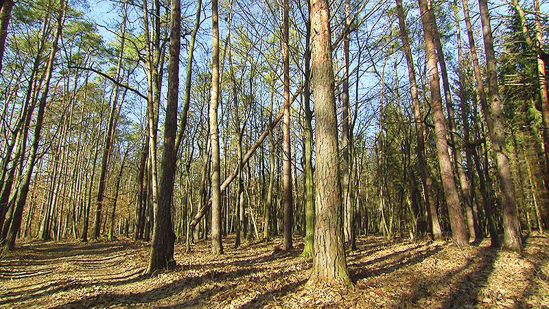 Kiefernsterben Wald Baum