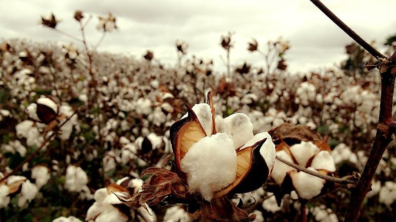 Baumwolle Pflanze Baumwollfeld