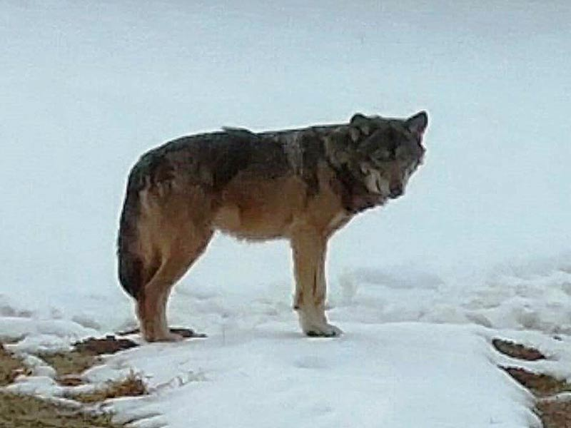 Wolfssichtungen Kärnten