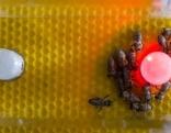 Bienen mit Bienen-Roboter