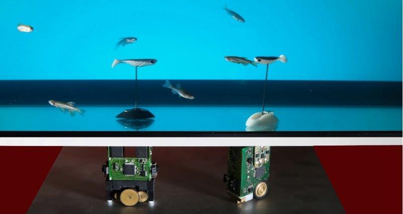 Zebrafische mit Roboter