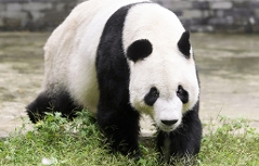 Panda Yuan Yuan