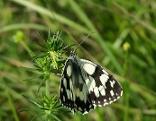 Bild zeigt Schmetterling
