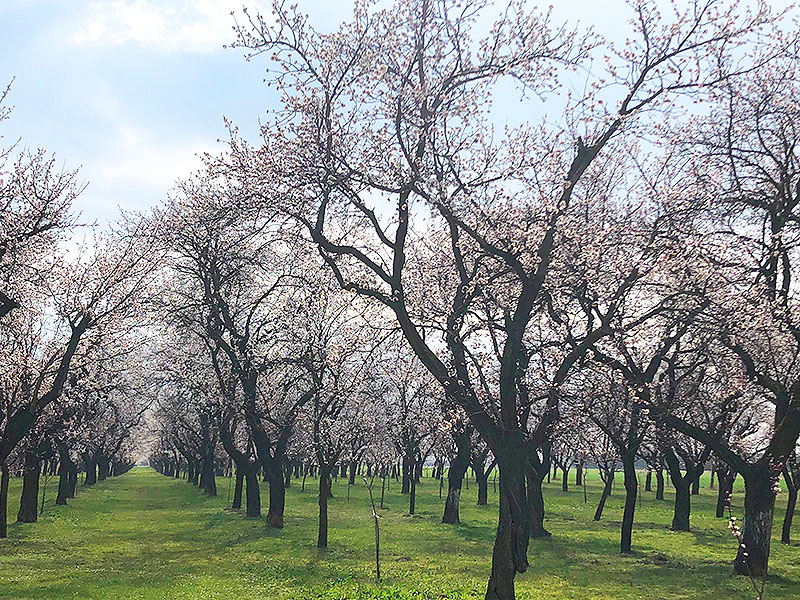 Frühe Marillenblüte Gefahr Frost Ernteprognose