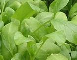 Spinatpflanzen