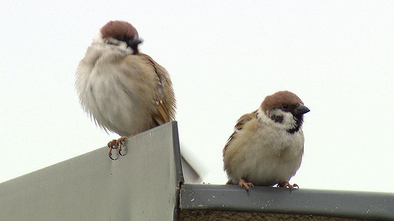 Vogelsterben BirdLife Illmitz Feldlerche