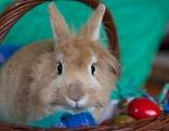 Ein semmelfarbener Hase sitzt in einem Korb und schaut in die Kamera, daneben ein rotes Osterei.