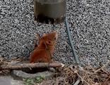 Feuerwehr Eichhörnchen Rettung Schwechat