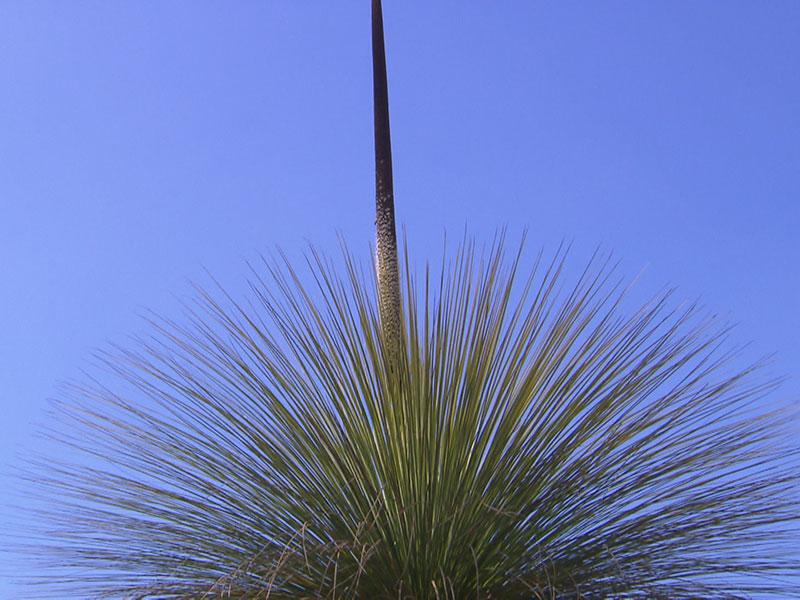 Der Grasbaum im Botanischen Garten in Wien