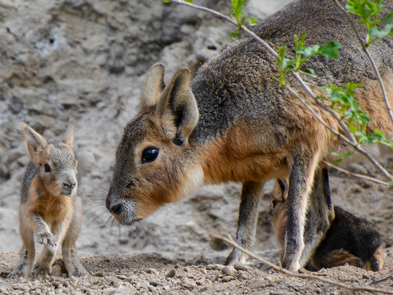 Doppelter Nachwuchs bei Großen Maras