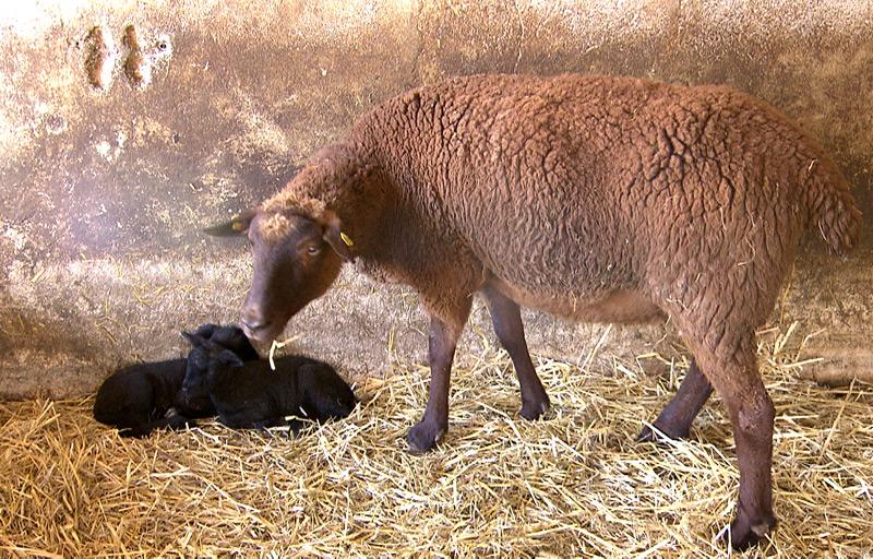 Mutterschaf im Stall mit zwei jungen Lämmern