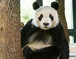 "Panda ""Yuan Yuan"""