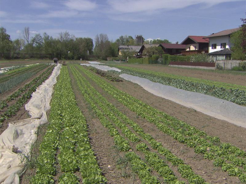 Gemüsebauern leiden unter Trockenheit