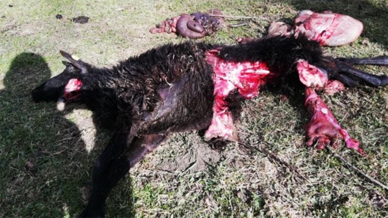 Schaf das von Wolf gerissen wurde