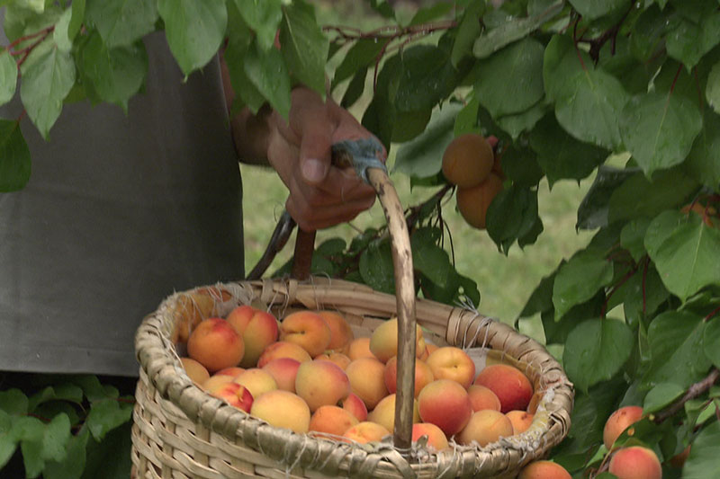 Marille am Baum, Lebensmittelprobe