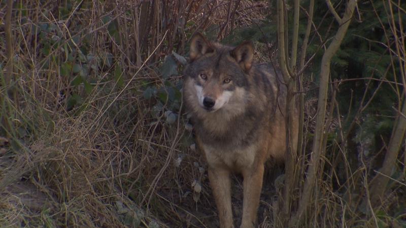 Wolf im Dickicht