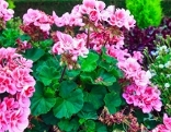 Üppig blühende rosafarbene Pelargonie