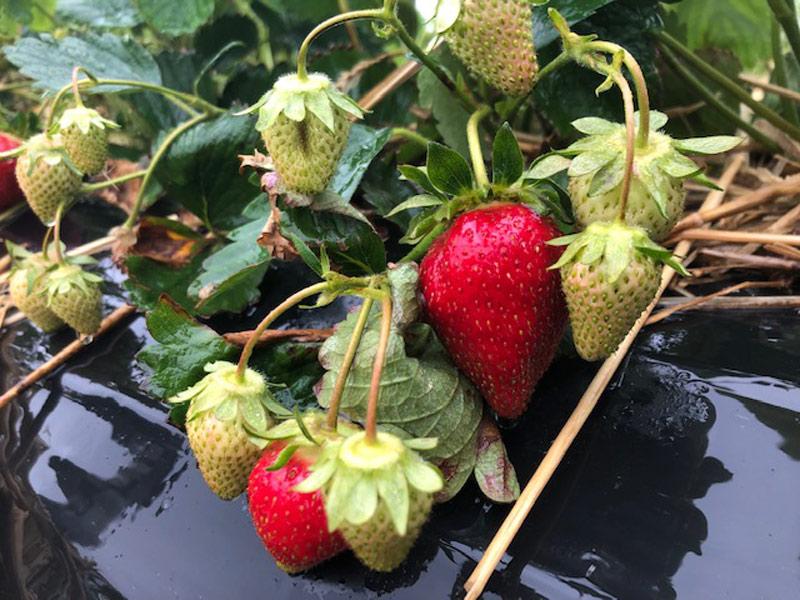 Erdbeeren tut der Regen gut