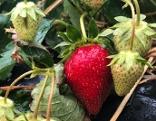 Erdbeerfeld bei Ernte
