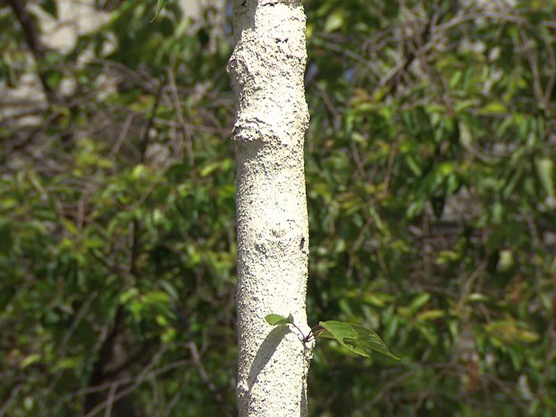 Weißer Anstrich zum Schutz von Bäumen