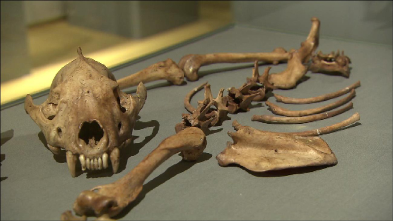 Ein Tierskelett liegt lose in der Ausstellung